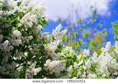 White lilac on the sky background. flowering tree