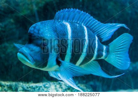 Blue And White Triped Tropical Fish Big Fins