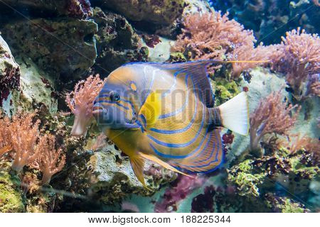 Colorful Tropical Jungle Fish With Yellow And Blue Stripes