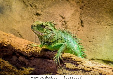 Green Lizard With Spikes Chameleon Lying In The Sun