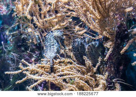 Group Of Seahorses Sleeping In Water Plants