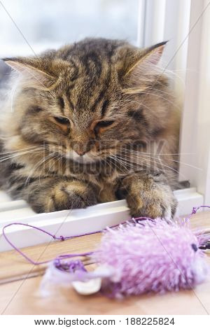 Cute Brown Persian Cat Playing A Cat Toy.