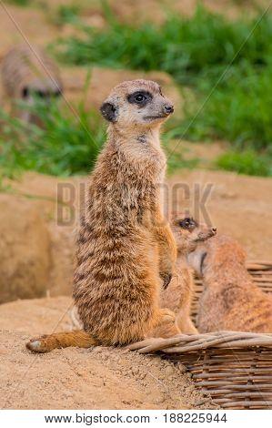 One Meerkat Or Suricat Standing On Sand