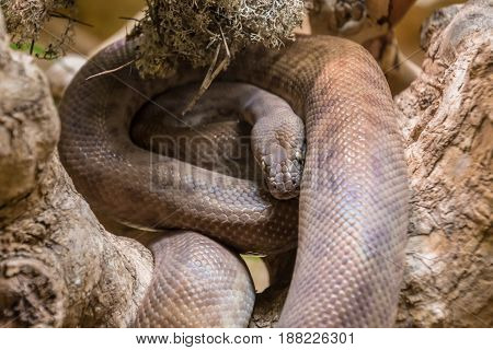 Tropical Brown Constrictor Curled On Tree Branch