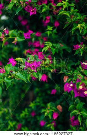 bunch of pink bougainville tropical flower closeup shot