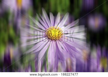 Aster x frikartii, 'Monch'  a common cultivated herbaceous perennial hardy garden flower plant also known as  Michaelmas Daisy with a streak blur effect
