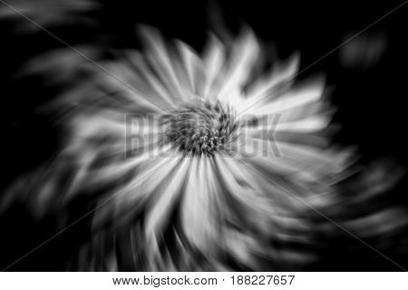 Black and white image of Aster x frikartii, 'Monch'  a common cultivated herbaceous perennial hardy garden flower plant also known as  Michaelmas Daisy with a wind breeze swirl effect
