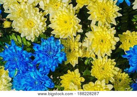 Brightly blooming yellow-blue aster on a countryside flowerbed in the middle of spring