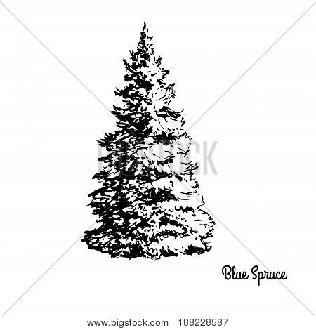 Vector sketch illustration. Black silhouette of Blue Spruce isolated on white background. Drawing of coniferous plant, Colorado and Utah state tree.