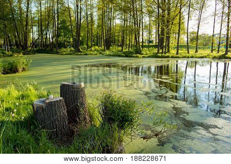 The lake is covered with duckweed on the bank of which there are tree stumps. Landscape