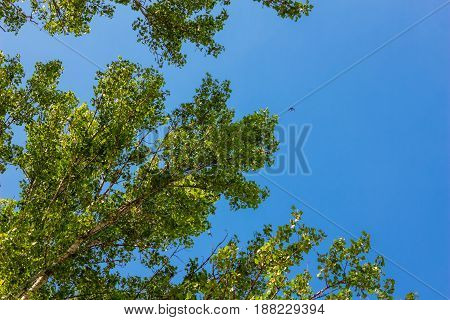 Branch of a deciduous tree against a blue sky on which a swallow flies by