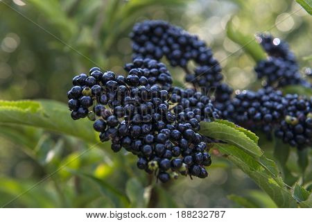 wild plant black berry close-up view, macro