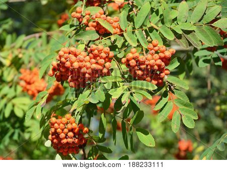 Close up on rowan tree with rowan berry. Rowan berries.