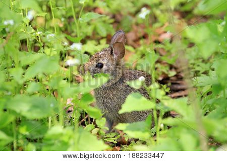 Cotton-tail Rabbit feeding in early spring on greens
