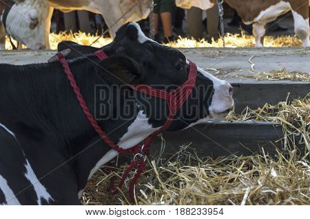 Black and white cow in a farm cowshed.