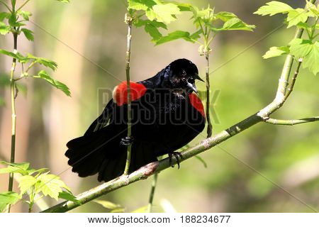 Red-wing Blackbird male displaying in early spring