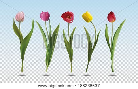 A set of five realistic colorful Tulip flowers on a transparent background. Vector illustration in EPS10 format