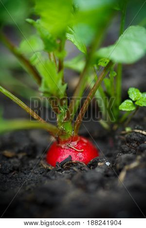 Red ripe radish grows in the ground