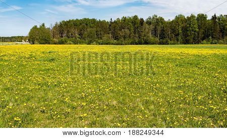 Dandelion Flowers And Blossoms In Spring