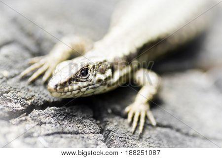 Animal close-up portrait of lizard macro photo.
