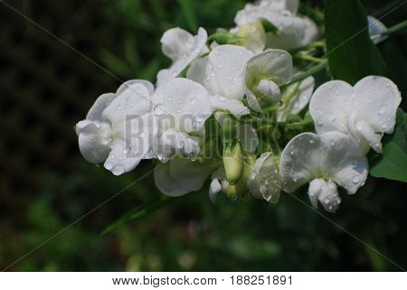 Flowering white sweet pea plant with dew drops clinging to the blossoms.