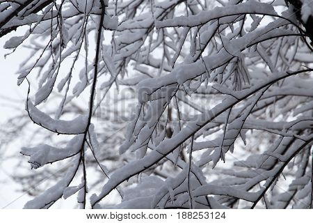 snow on the branches of a tree .