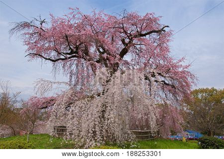 Weeping cherry tree with blue sky in Japan