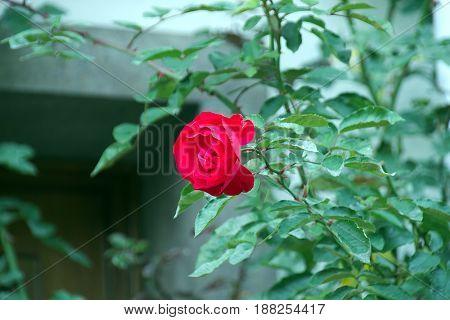 Red flower on path in frankfurt on main ginnheim hessen