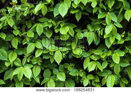Leaves Background In Spring Or Summer Season Garden