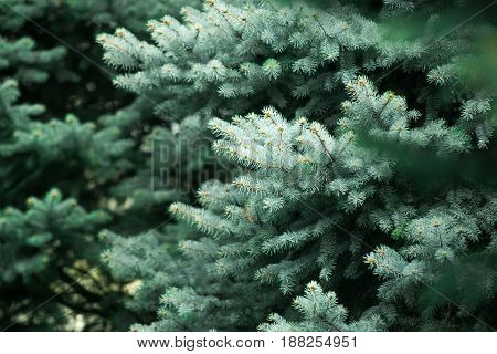 Fir Tree Background With Green Branch