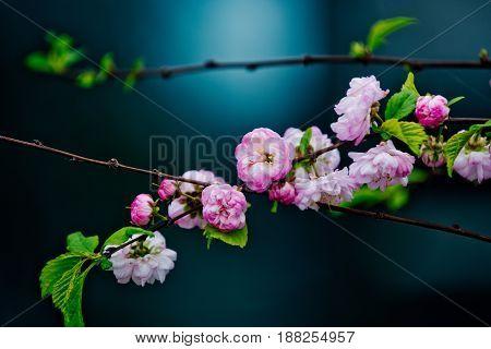 Pink Cherry Blossom Or Sakura Flower