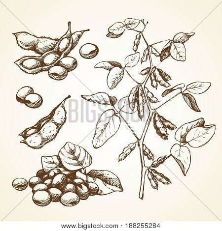 Hand drawn graphic sketch vector illustration set of soy beans, leaves, branch. Stylish templates for packaging design, label, banner, poster, identity, branding.