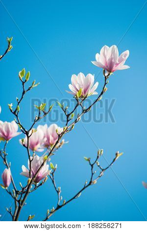 Flowers Of Magnolia Blooming Tree Pink Color On Branch