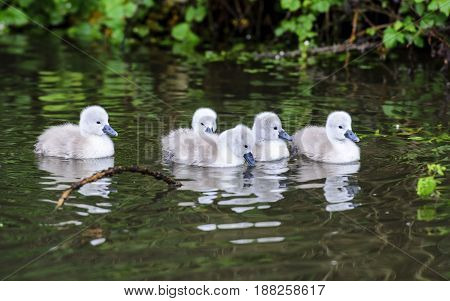 A group of cygnets in a river