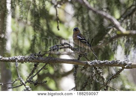 A Yellow and Black Common Chaffinch Sitting in Tree.