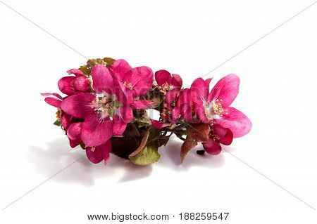 Pink apple blossom on white background. .
