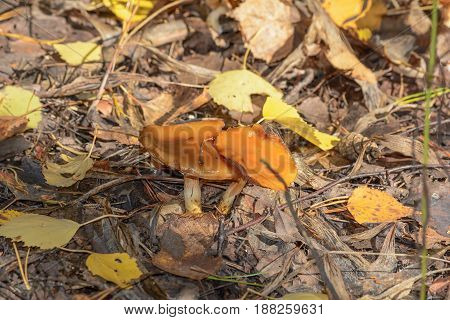 Autumn Forest Poisonous mushroom Toadstool Nature Early