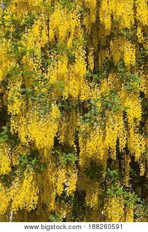 background image of laburnum tree yellow flowers in springtime