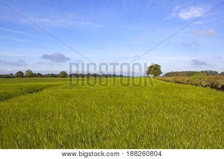Yorkshire Barley