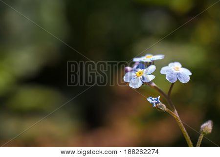 Forget Me Not flower in summer in garden