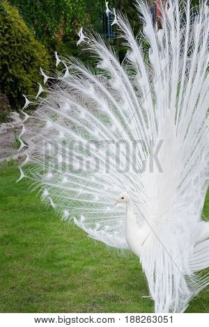 Male White Peacocks Are Spread Tail-feathers Iv
