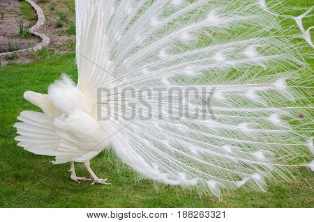 Male White Peacocks Are Spread Tail-feathers Ix
