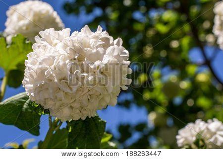 White Viburnum Flowers in Spring in Garden