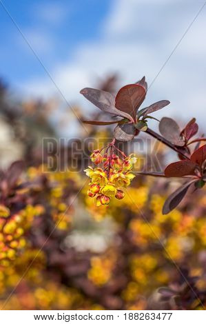 Branch of a blossoming barberry on the sky background