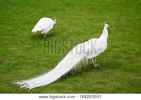 Male White Peacocks Are Spread Tail-feathers Xiii