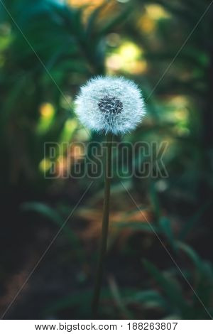 Dandelion in the sun in the spring on a blurred background
