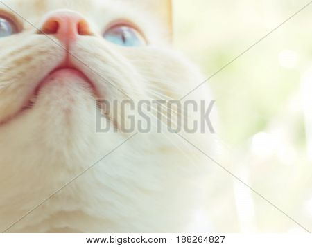 beautiful white red young cat muzzle and whiskers blur selective focus