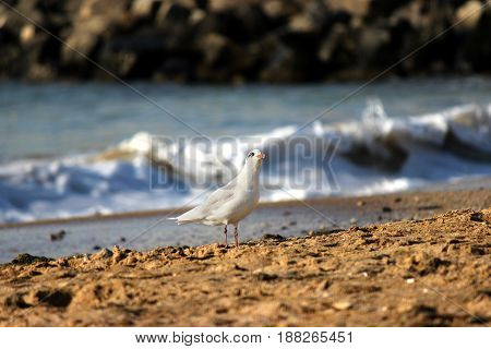 seagulls on beach sand looking for food