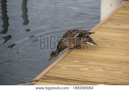 A female Mallard (Anas platyrhynchos) getting ready to jump into Lake Michigan