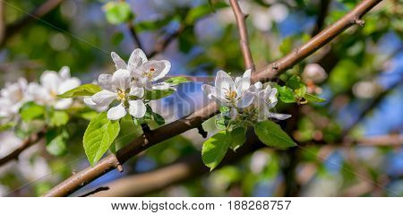 the flowers of the apple tree, several inflorescences on one branch, white with a yellow core, against the blue sky and lit by the sun, spring period, spring, narrow photo